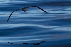 Giant Petrel by Oli Prince