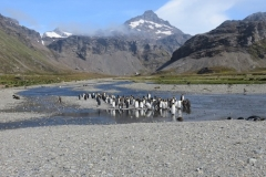 King Penguins Moltke Harbour, Royal Bay by Nici Rymer