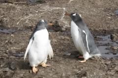Gentoo Penguins by Denise Landau