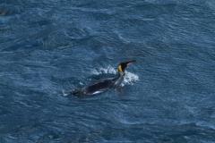 King Penguin in water by Roland Gockel