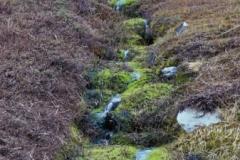 Stream bank mosses near Grytviken (pohlia wahlenbergii / philonotis).  Jan 1973.