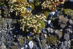 Subantarctic Pearlwort (colobanthus) flowering, south coast. Jan 1974.