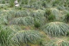 Tussock grass flattened by fur seals; Diedre Galbraith